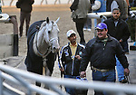 29 November 2008:  After being placed second by disqualification, first-to-the-wire Harlem Rocker is led off the track following the grade 1 Cigar Mile Handicap at Aqueduct Racetrack in Ozone Park, New York.