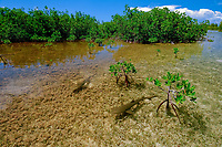 Lemon shark, Negaprion brevirostris, juveniles in mangrove nursery, red mangrove, Rhizophora mangle, Bimini, Atlantic Ocean