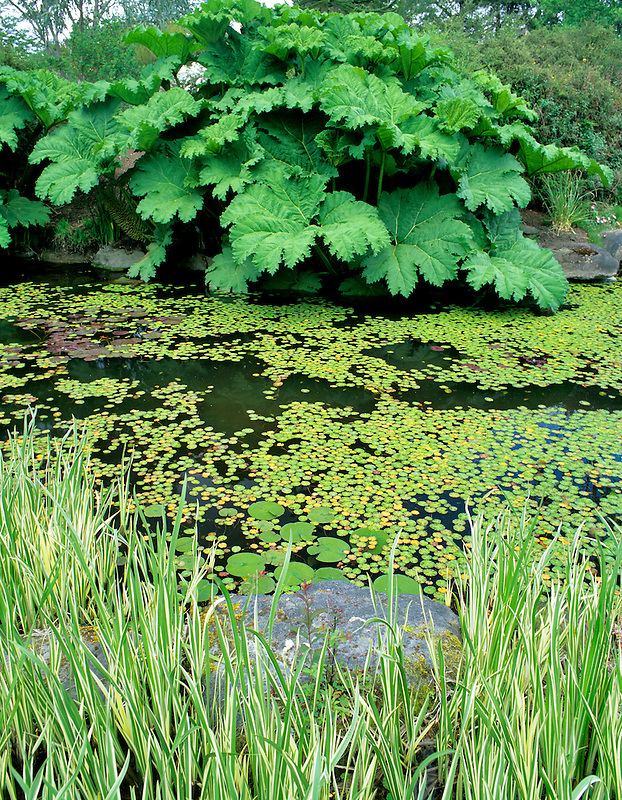 Pond with large leaves of species Gunnera. VanDusen Botanical Garden. Vancouver, BC, Canada.