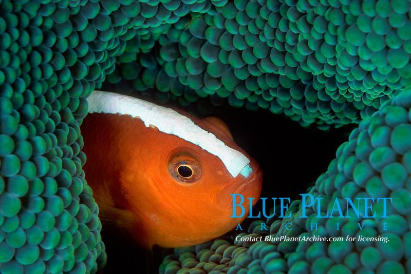 orange skunk clownfish, Amphiprion sandaracinos, aka orange anemonefish, Onemoba'a, Tomia, Kepulauan, Wakatobi National Park, Southeast Sulawesi, Indonesia, Banda Sea, Indo-Pacific Ocean