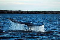 A Grey whale dives, flipping its tail fin. Baja California, Sur Mexico, Magdelena Bay.