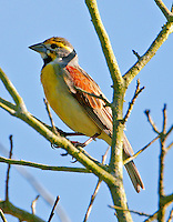 Adult male dickcissel in breeding plumage in tree