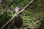 Aye-aye (Daubentonia madagascariensis) in the wild. In the forest canopy, after emerging from its nest at dusk. Near Daraina, northern Madagascar.