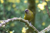 New Zealand Bellbird (Anthornis melanura melanura), male in Queens Park, Invercargill, Southland, New Zealand.