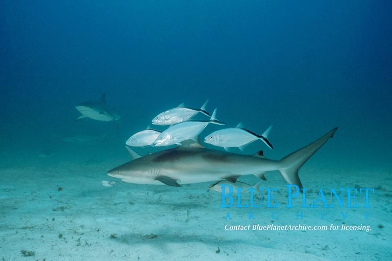Caribbean reef sharks, Carcharhinus perezii, with bar jacks, Caranx ruber, Bahamas, Caribbean Sea, Atlantic Ocean