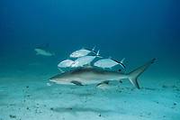 Caribbean reef sharks, Carcharhinus perezii, with bar jacks, Caranx ruber, Bahamas, Caribbean Sea, Atlantic Ocean