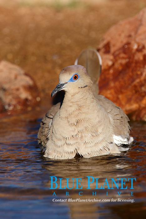 white-winged dove, Zenaida asiatica, bird
