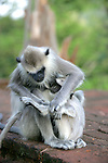 Hanuman Langurs, Infant Sucking On Breast