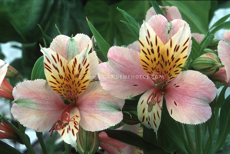 Alstroemeria Diana, Princess of Wales summer flowering bulb named for Princess Diana