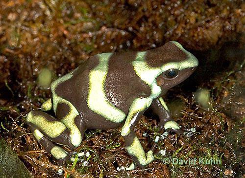 0930-07ss  Dendrobates auratus ñ Green and Black Arrow Frog ñ Green and Black Dart Frog  © David Kuhn/Dwight Kuhn Photography