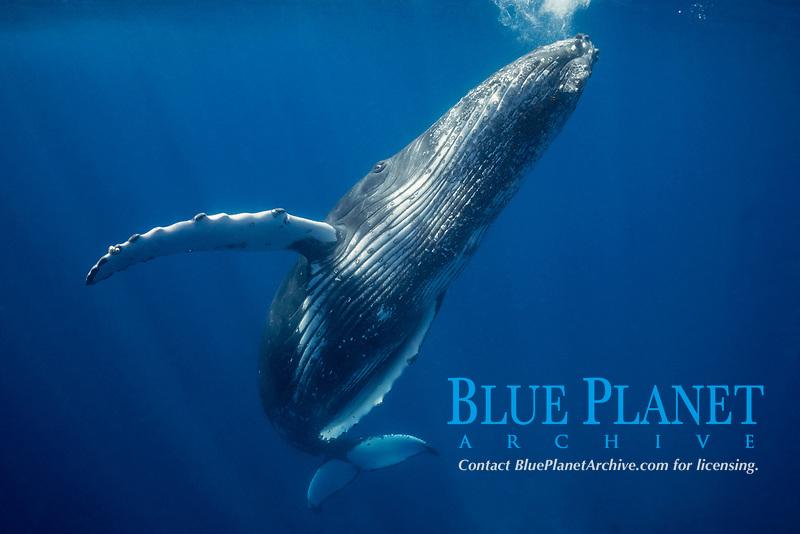 humpback whale, Megaptera novaeangliae, young male, Ha'apai, Kingdom of Tonga, South Pacific Ocean