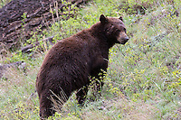 """Black bears come in various colors, despite their name. This reddish hue is called """"cinnamon"""". You might also see them as even more reddish, brown or in remote places they may even appear to be white."""