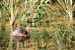 Brazoria County, Damon, Texas; a Pied-billed Grebe (Podilymbus podiceps) bird shakes the water off it's feathers while swimming amongst the reeds at the water's surface