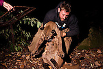 Mountain Lion (Puma concolor) biologist, Chris Fust, removing sedated sub-adult male from box trap for collaring, Santa Cruz Puma Project, Santa Cruz, Monterey Bay, California
