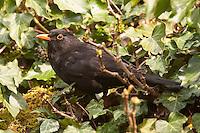 Amsel, Schwarzdrossel, Männchen, frisst an reifen Efeufrüchten im Frühjahr, Turdus merula, Blackbird, Merle noir