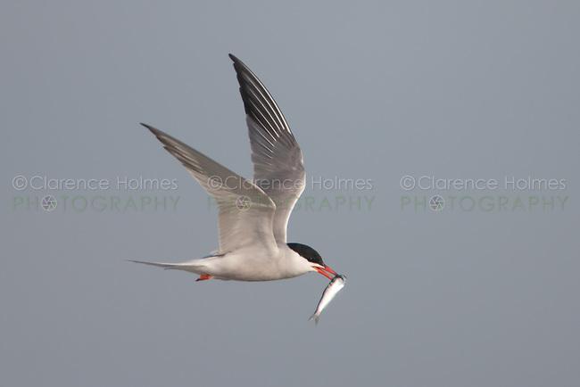 Common Tern (Sterna hirundo) flying with fish, Nickerson Beach, Lido Beach, New York