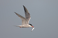 Common Tern (Sterna hirundo) flying with fish, Nickerson Beach, Lido Beach, New York