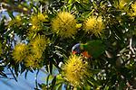 Rainbow Lorikeet (Trichoglossus haematodus) eating nectar from golden penda flowers.