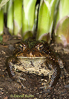 0304-0932  American Toad Grass in Garden, © David Kuhn/Dwight Kuhn Photography, Anaxyrus americanus, formerly Bufo americanus