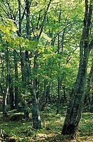 Hainbuchen-Wald, Gewöhnliche Hainbuche, Weißbuche, Weissbuche, Hain-Buche, Carpinus betulus, Common Hornbeam, European Hornbeam, Charme commun, Charmille