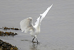 """Saturday Night Fever! <br /> <br /> Pictured: An egret is caught in a pose resembling that of John Travolta in the film Saturday Night Fever.<br /> <br /> The egret was spotted on the edge of the River Eden, on a shallow part that flows from the sea estuary close to the the town of Guardbridge in Fife, Scotland. It's white plumage and positioning of wings looked identical to that of the movie star in his 1970's white disco suit.<br /> <br /> Glenrothes-based retiree-turned-wildlife photographer Kenneth O'Keefe, 62, said, """"I spent about five hours watching and photographing the wildlife in this area that morning. As I was watching the comings and goings of the wildlife I spotted the little egret making its way up the river and continually striking under the water to catch food.  As I was keeping an eye on it through my camera it suddenly gave it's wings a flap and I took the photo.""""<br /> <br /> """"On reviewing the image on my camera I immediately thought of it resembling John Travolta strutting his stuff in his white suit in the film Saturday Night Fever and the lines """"well you can tell by the way I use my walk I'm a woman's man no time to talk"""" from the song """"Stayin' Alive"""" began playing in my head so I made the link immediately.""""<br /> <br /> """"I find it an amusing photo and I've had people tell me they've burst out laughing looking at it. It's hard to tell which one had the better moves though!""""<br /> <br /> Please byline: Kenneth O'Keefe/Solent News<br /> <br /> © Kenneth O'Keefe/Solent News & Photo Agency<br /> UK +44 (0) 2380 458800"""