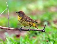 Adult brown (western) race palm warbler in breeding plumage