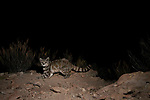 Andean Mountain Cat (Leopardus jacobita) at night, Abra Granada, Andes, northwestern Argentina