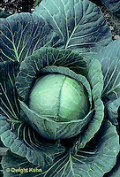 HS37-015b  Cabbage - Perfect Action variety