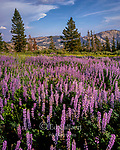 Lupin, Horse Meadow, Emigrant Wilderness, Stanislaus National Forest, Sierra Nevada Mountains, California