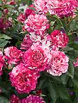 Purple Tiger Rose, floribunda Rosa hybrid