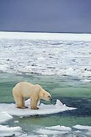 Polar bear (Ursus maritimus) on broken ice.