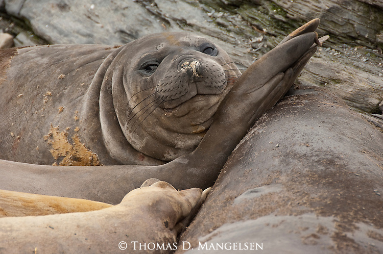 A southern elephant seal laying on the beach of Gold Harbour in South Georgia with other seals.