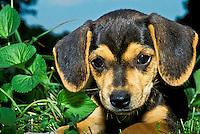 Adorable beagle mix puppy close up in evening garden
