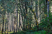 Elwha River Forest along Olympic Hot Springs Road in Olympic National Park