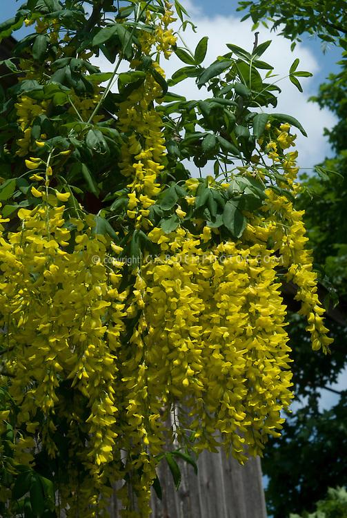 Laburnum x watereri 'Vossii' Goldenchain Tree in yellow flowered spring bloom, golden spring blooming tree