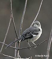 1222-06zz  Northern Mockingbird - Mimus polyglottos © David Kuhn/Dwight Kuhn Photography
