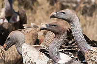Ruppell's Griffon Vultures, Gyps rueppellii, gather to feed on the remains of a Thomson's Gazelle killed by a Cheetah in Serengeti National Park, Tanzania