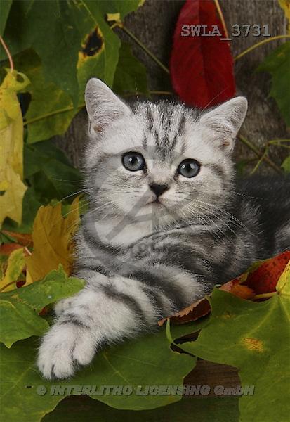Carl, ANIMALS, photos(SWLA3731,#A#) Katzen, gatos