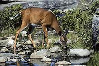 MA22-013z   White-tailed Deer - drinking from pond - Odocoileus virginianus