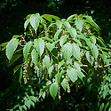 Pere David's maple (Acer davidii), spring flowers and foliage, early May. Also known as snake-bark maple.