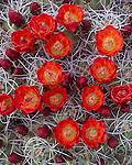 Joshua Tree National Monument, CA: Scarlet blossoms on a clump of Claret Cup Cactus (Echinocereus triglochidiatus)
