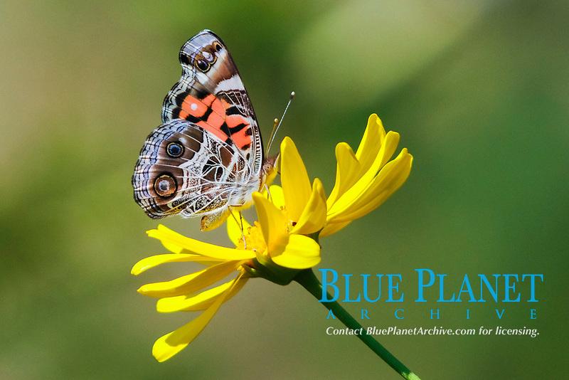 common buckeye, Junonia coenia, feeding on nectar of yellow daisy, Escondido, California, USA