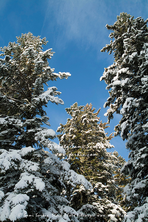 Snow-covered fir trees growing in the French Alps, France.