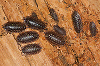 Mauerassel, Mauer-Assel, Mauerasseln auf Totholz, in morschem Holz, Oniscus asellus, common woodlouse, common sowbug, grey garden woodlouse