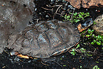 Wood turtle walking right full body view.
