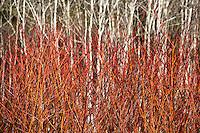 Red twig or Red Osier dogwood shrub (Cornus stolonifera, C. sericea) in front of white bark poplar trees (Populus tremuloides)- East Bay Regional Park Botanic Garden, California native plant