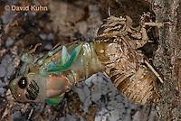 0901-0811  Emerging Adult Dog-day Cicada, Tibicen spp.  © David Kuhn/Dwight Kuhn Photography