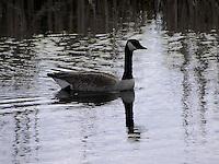 Canada goose trolling the waters of Big Lake, Alberta.