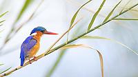 It's always nice seeing one of Africa's prettiest birds again.