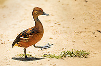 Fulvous Whistling-Duck walking in sand with one foot up in the air